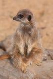 Waakzaam meerkat stock foto's