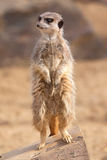 Waakzaam meerkat royalty-vrije stock afbeelding