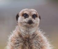 Waakzaam meerkat royalty-vrije stock afbeeldingen