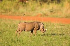 Waakzaam Wrattenzwijn Stock Afbeeldingen