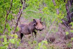 Waakzaam wrattenzwijn in het bos royalty-vrije stock afbeelding