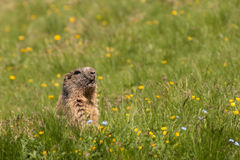 Waakzame alpiene marmot Royalty-vrije Stock Afbeeldingen