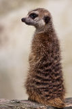 Waakzame Bevindende Wacht Meerkat Stock Foto's