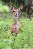 Waakzame Bushbuck in het Nationale Park van de Mol, Ghana stock foto's