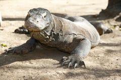 Waakzame draak Komodo stock foto's