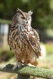 Waakzame Eagle-uil Royalty-vrije Stock Afbeeldingen
