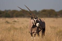 Waakzame Gemsbok (Oryx) Stock Afbeelding