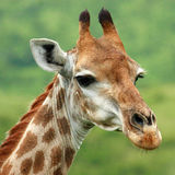 Waakzame Giraf Royalty-vrije Stock Foto