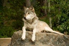 Waakzame grote vlakteswolf Stock Foto