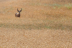 Waakzame Herten op Gebied Royalty-vrije Stock Fotografie