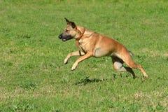 Waakzame het springen hond Royalty-vrije Stock Afbeeldingen