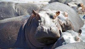 Waakzame hippo Royalty-vrije Stock Fotografie