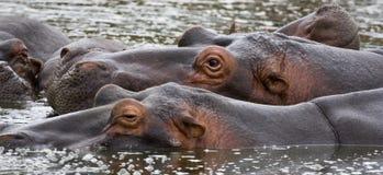 Waakzame Hippos royalty-vrije stock afbeelding