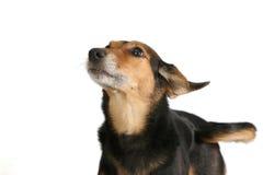 Waakzame hond Royalty-vrije Stock Fotografie
