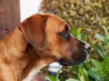 Waakzame hond Royalty-vrije Stock Foto