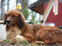 Waakzame hond Stock Foto