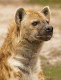 Waakzame Hyena Stock Foto