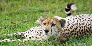 Waakzame Jachtluipaard Royalty-vrije Stock Foto's