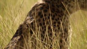 Waakzame jachtluipaard stock footage