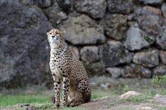 Waakzame jachtluipaard in het park royalty-vrije stock fotografie
