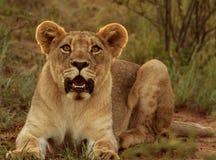 Waakzame jonge mannelijke leeuw Royalty-vrije Stock Foto