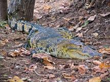 Waakzame krokodil Royalty-vrije Stock Foto