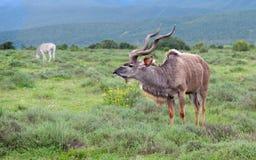 Waakzame Kudu Royalty-vrije Stock Foto