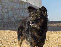 Waakzame Landbouwbedrijfhond met Amber EyesAlert Farm Dog met Amber Eyes stock afbeelding