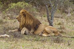 Waakzame Leeuw Royalty-vrije Stock Fotografie