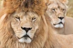 Waakzame leeuwen Stock Foto
