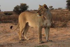 Waakzame leeuwin in Kgaligadi Royalty-vrije Stock Afbeeldingen