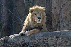 Waakzame mannelijke leeuw op een toppositie Stock Foto's