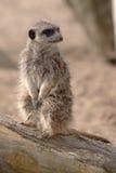 Waakzame Meerkat Royalty-vrije Stock Afbeeldingen