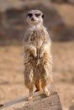 Waakzame Meerkat Stock Foto