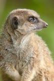 Waakzame Meerkat Stock Afbeelding