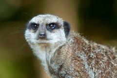 Waakzame Meerkat Stock Afbeeldingen