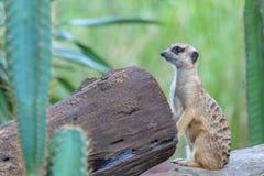 Waakzame meerkat bevindende wacht Stock Afbeeldingen