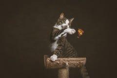 Waakzame speelse jonge gestreepte katkat met witte borstzitting bij het krassen van post tegen donkere stoffenachtergrond Royalty-vrije Stock Afbeeldingen