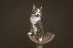 Waakzame speelse jonge gestreepte katkat met witte borstzitting bij het krassen van post tegen donkere stoffenachtergrond Stock Fotografie