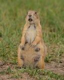 Waakzame Vrouwelijke Groundhog met Stuk van Gras Stock Fotografie