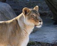 Waakzame vrouwelijke leeuw Royalty-vrije Stock Foto