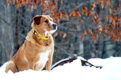 Waakzame Waakhond in de Sneeuw Stock Foto