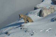 Waakzame Wolf stock foto's