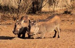Waakzame Wrattenzwijnen die Korrels eten Royalty-vrije Stock Afbeelding