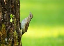 Waakzame Wryneck (Jynx-torquilla) op een boomboomstam Stock Foto