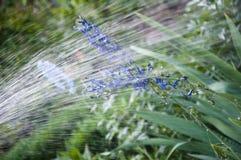 Waarschuw atmosfeer regenwater voor ridderspoorbloembed water gevende de zomertuin villatic vakantieseizoen De kaars van de ridde stock afbeelding
