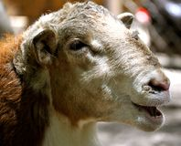 Waccatee Zoo - Goat Stock Photos