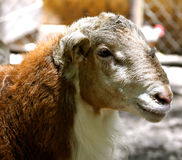 Waccatee Zoo - Goat. In a pen Stock Photos