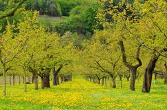 Wachau apricot trees Stock Photography