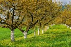 Wachau apricot trees Stock Image
